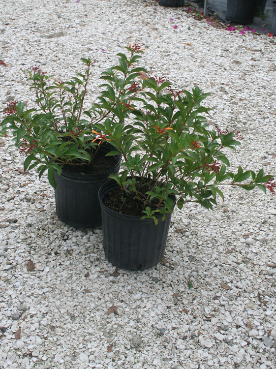 Dwarf Fire Bush