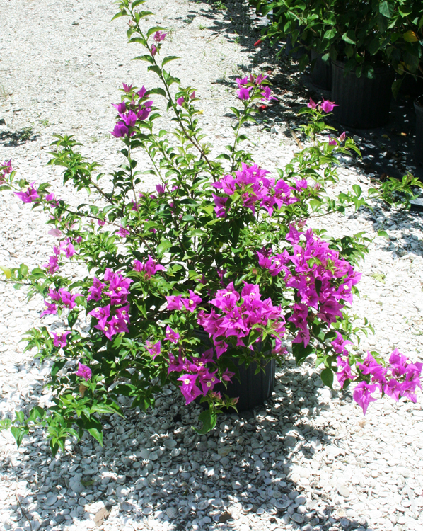 Bougainvillea - New River